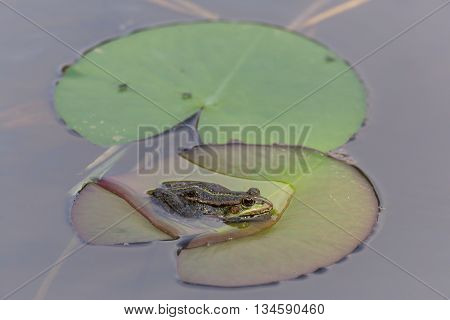 green frog (Rana kl. esculenta) sitting on a leave in the water