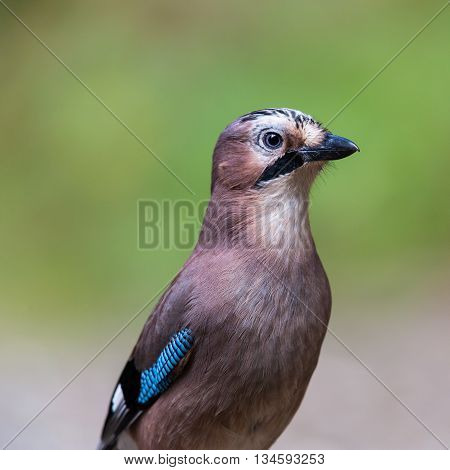 Portrait of a (Eurasian) jay (Garrulus glandarius) on green background