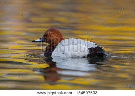 Eurasian pochard (Aythya ferina) on colorful water