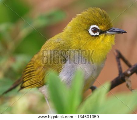 perching Everett's White-eye, swamp near Songkhla, Thailand