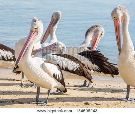 Several Australian pelicans (Pelecanus corspicillatus) on a beach in Cairns off the coast of the Coral Sea, in Queensland, Australia.