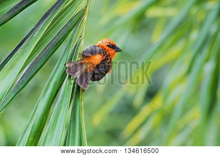 red bird species Foudia madagascariensis on a palm tree
