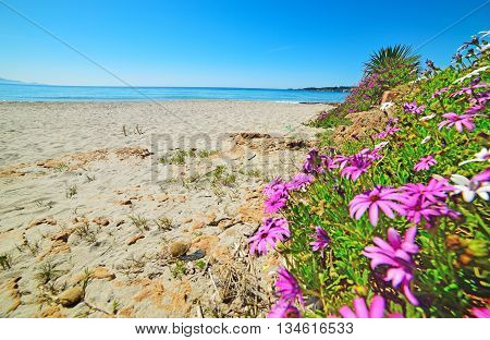 Daisies by the sea in Le Bombarde beach Italy