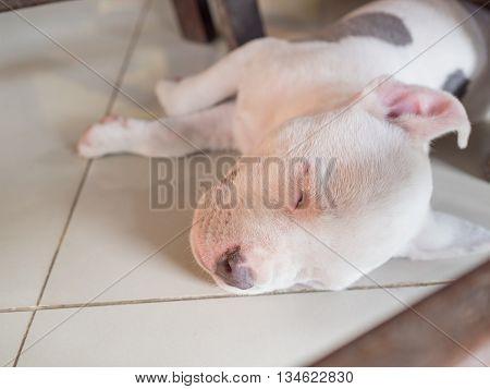Puppy dog sleeping on tiled , dog sleeping