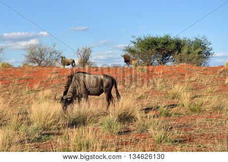 African wildlife. Blue wildebeest Connochaetes taurinus in the meadow big animal in the nature habitat Namibia Kalahari desert Africa