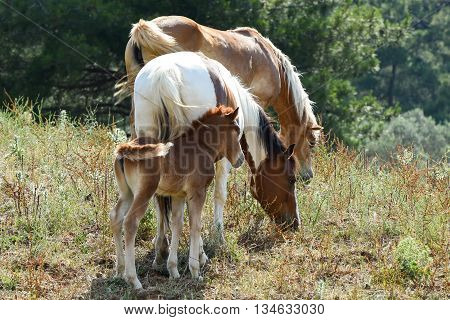 Two horses and a filly feeding on grass isolated.