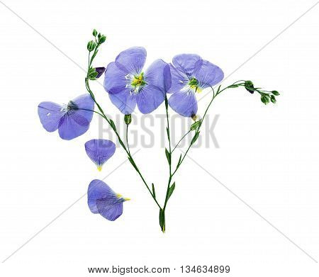 Pressed and dried delicate blue flower flax. Isolated on white background. For use in scrapbooking pressed floristry (oshibana) or herbarium.