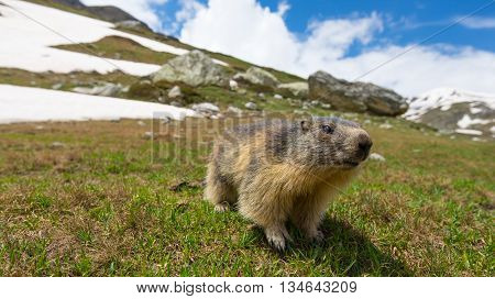 Close up of a cute young funny marmot looking at camera front view. Wildlife and nature reserve in the Italian French Alps. Summer adventures.