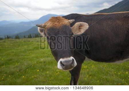 Cow On A Summer Pasture. Mountains And Meadows