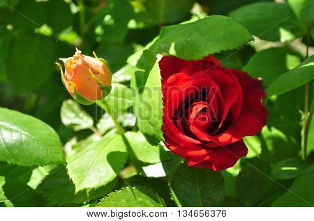 Beautiful orange and red rosebud with leafes