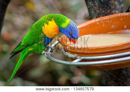 Color parrot is eating from a plate