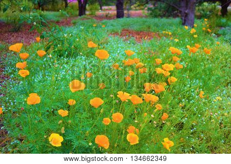 California Poppy wildflowers taken in a lush meadow during spring