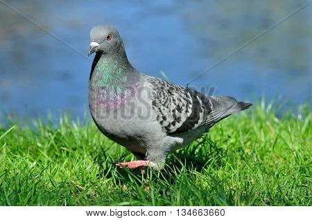 Pigeon. Dove. The large bird genus Columba comprises a group of medium to large stout-bodied pigeons, often referred to as the typical pigeons.