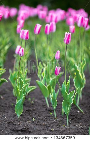 Flower tulips background. Field of tulips, tulips close, tulips cute, tulips, beautiful tulips, colorful tulips green tulips petals amazing tulips