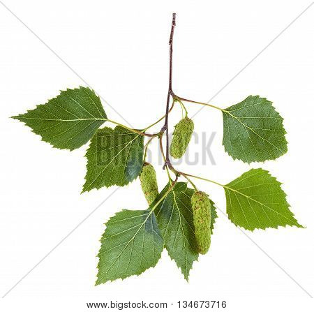 Branch Of Birch Tree With Green Leaves And Catkins