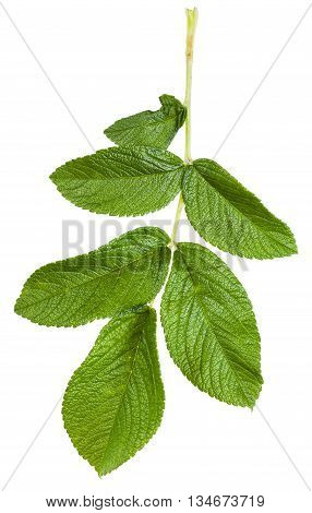 Branch With Green Leaves Of Rosa Rugosa