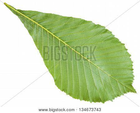 Back Side Of Aesculus (horse Chestnut) Green Leaf