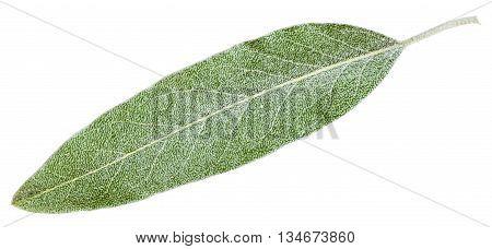 Silver Leaf Of Elaeagnus Angustifolia Isolated