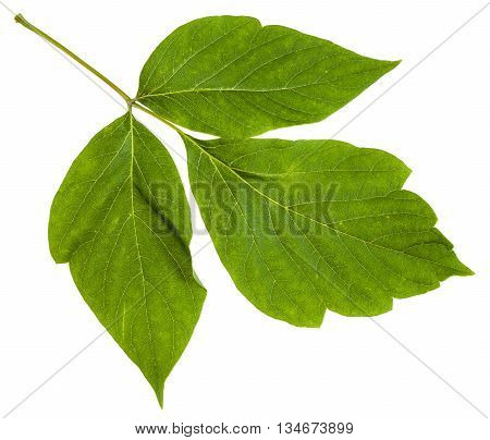 Twig With Leaves Of Acer Negundo (maple Ash)