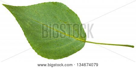 Back Side Of Green Leaf Of Black Poplar Isolated