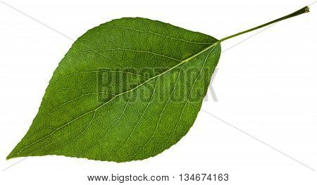 green leaf of Populus canadensis ( Canadian poplar hybrid of Populus nigra and Populus deltoides) isolated on white background poster