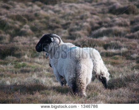 Sheep On Moor Land