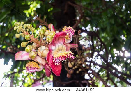 Cannonball flower , beauty in nature , tree