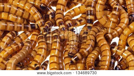 Zophobas morio (worms) close up background