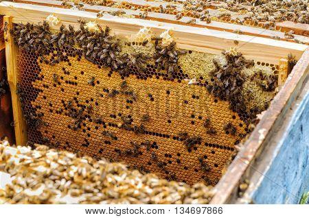 Bee brood in the hive apiary beekeeping