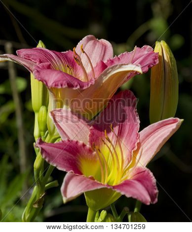 Peachy Pink and Yellow Daylilies Hemerocallis Flowers