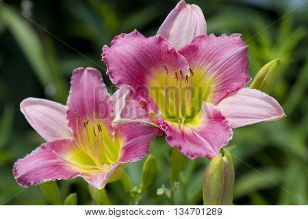 Peachy Pink and Yellow Daylilies Hemerocallis Blooms