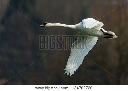 Mute swan (cygnus olor) flying with dark background