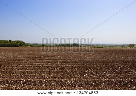 Patterns and textures in the chalky plow soil of a field planted with potatoes under a clear blue sky on the Yorkshire wolds.