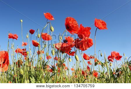 Poppies - Papaver rhoeas - on the blue sky; shallow depth of field