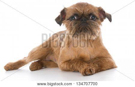 brussels griffon puppy portrait on white background poster