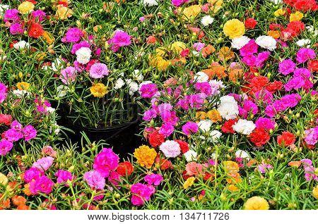 Colorful Portulaca oleracea flower grandiflora in a garden