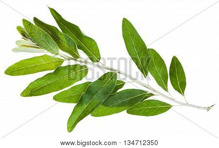 Twig With Green Leaves Of Elaeagnus Angustifolia