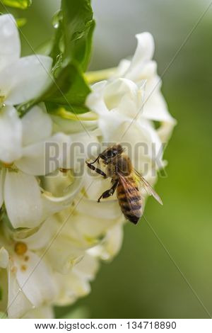 a little cute bee on white flower