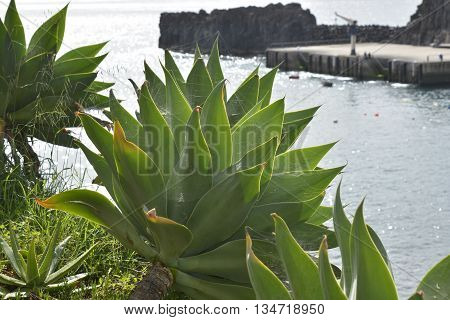 Aloe succulent plant growing wild on cliffside at Camara de Lobos Madeira Portugal
