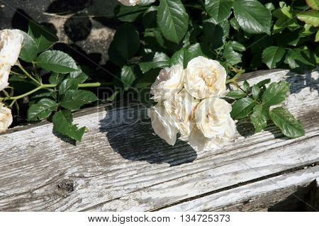 Blossom of the historic pink  rose Bouquet Parfait in the summer garden