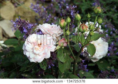 Blossom of the nostalgic, historic pink  rose Grüß an Aachen in the summer garden.