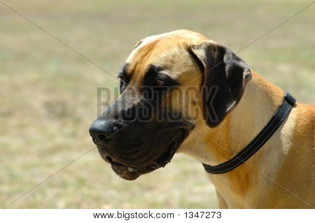 a beautiful creme great dane dog head portrait watching other dogs in the park poster