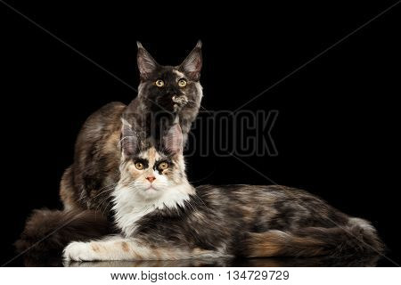 Two Maine Coon Cats Lying and Looking in Camera Isolated on Black Background
