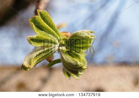 Dissolve kidney chestnut , small green leaves