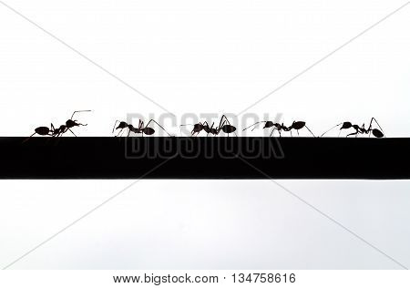 silhouette of an chief ant and follower
