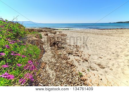 pink daisies by the shore in Le Bombarde beach Sardinia