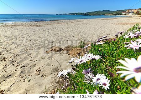 daisies by the shore in Le Bombarde beach Sardinia