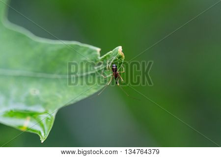 Wasp spider on a leaf top view