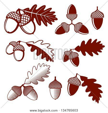 Oak acorns and leaves vector set. Acorn oak, leaf oak, nature plant oak acorn, design nut acorn illustration