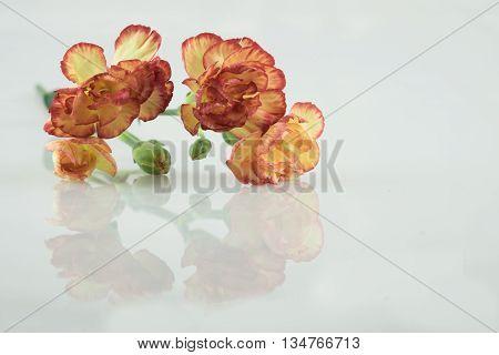 orange yellow carnation flower carnation flower on isolate background text word beautiful lovely pretty fresh carnation